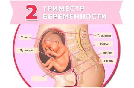 23 24 недели беременности