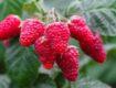 Лучшие сорта малины для южных областей России