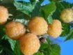 Ремонтантная желтая малина сорта Беглянка: выращивание и уход, описание