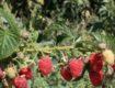 Бесшипная малина сорта Версаль, описание, выращивание и уход