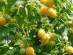 Ремонтантная малина сорта Желтый Гигант, описание, выращивание, уход