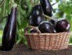 Правильная посадка баклажан для получения хорошего урожая